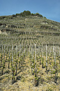 Viticulture Framed Prints - Vineyard in Germany, Europe Framed Print by Jon Boyes
