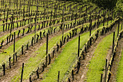 Pinot Noir Photos - Vineyard in July by Jean Noren