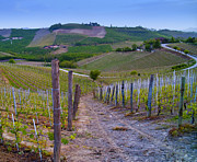 Grapevines Photos - Vineyard in Piedmont, Italy by David Buffington