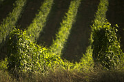 Grapes Photo Originals - Vineyard in summertime by Franco Franceschi