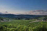 Grapevines Photos - Vineyard in the Galilee by Noam Armonn