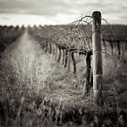 Winemaking Metal Prints - Vineyard In Winter Metal Print by Sue Hammond