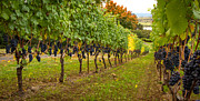 Pinot Noir Photos - Vineyard by Jean Noren