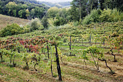 Grapevines Photos - Vineyard by Jeremy Woodhouse