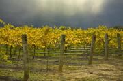 Grapevines Prints - Vineyard Print by John Doornkamp