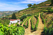 Vineyard Landscape Prints - Vineyard Landscape Print by Carlos Caetano