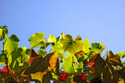 Grapevine Metal Prints - Vineyard Leaves Metal Print by Carlos Caetano