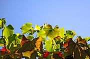 Vineyard Leaves Print by Carlos Caetano