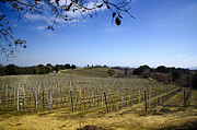 Wine Vineyard Photos - Vineyard by Mats Silvan