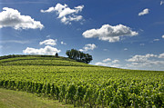Grape Vines Photos - Vineyard of Saint-Emilion. Gironde. Aquitaine. France by Bernard Jaubert