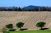 Wine Vineyard Photos - Vineyard on a hill with trees by Mats Silvan