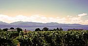 Vineyard Landscape Posters - Vineyard on Lake Geneva Poster by Jeff Barrett