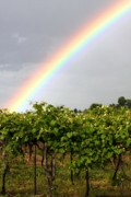 Merlot Posters - Vineyard Rainbow Poster by Laurel Sherman