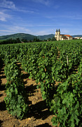 Bernard Jaubert - Vineyard. Regnie-Durette. Beaujolais wine growing area. Departement Rhone. Region Rhone-Alpes. Franc