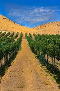 Wine Making Prints - Vineyard Print by Robert Bales