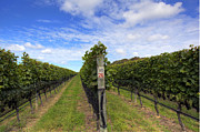 North Fork Framed Prints - Vineyard Row 26 Framed Print by Steve Gravano