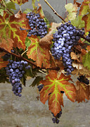 Purple Grapes Prints - Vineyard Splendor Print by Sharon Foster