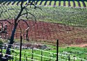 Wine Country Prints - Vineyard Textures Print by Charlette Miller