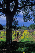 Landscape Prints Framed Prints - Vineyard View Framed Print by Kathy Yates
