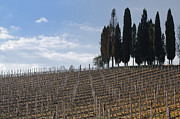 Vineyard Landscape Framed Prints - Vineyard with cypress trees Framed Print by Mats Silvan