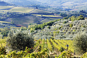 Olive Grove Framed Prints - Vineyards and Olive Groves Framed Print by Jeremy Woodhouse