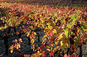 Winemaking Posters - Vineyards at fall Poster by Sami Sarkis