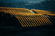 Chianti Framed Prints - Vineyards In Autumn Framed Print by Franco Franceschi
