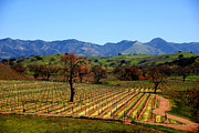 Vineyards Photos - Vineyards in Santa Ynez Valley CA by Susanne Van Hulst