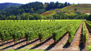 Sonoma County Vineyards. Prints - Vineyards in Sonoma County Print by Charlene Mitchell