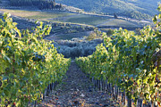 Chianti Vines Photo Posters - Vineyards Poster by Jeremy Woodhouse