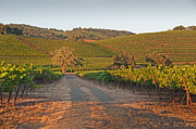 Grapevines Prints - Vineyards Last Sun Print by Kent Sorensen