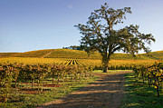 Sonoma Photos - Vineyards of Blazing Gold by Kent Sorensen