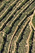 Repetition Photos - Vineyards on Mediterranean coast by Sami Sarkis