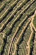Sami Sarkis - Vineyards on Mediterranean coast
