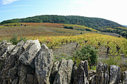 Winemaking Photos - Vineyards With Fall Foliage, Aoc Faugeres by Sami Sarkis