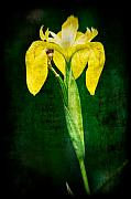Canna Metal Prints - Vintage Canna Lily Metal Print by Rich Leighton