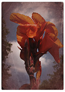 Canna Prints - Vintage Canna Lily Print by Richard Cummings