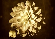 Dahlias - Vintage Dahlia by Cathie Tyler