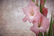Gladiola Prints - Vintage gladioli Print by Jane Rix