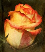 Peach Roses Prints - Vintage Rose Print by Cathie Tyler