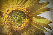 Parchment Posters - Vintage sunflower Poster by Jane Rix