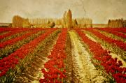 Skagit Digital Art - Vintage Tulips by Colleen Farrell