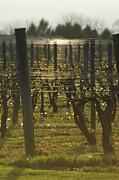 Vino Photos - Vintage vineyard by Adspice Studios