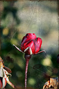 Kayecee Spain Acrylic Prints - Vintage Winter Rose Acrylic Print by KayeCee Spain