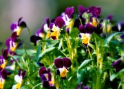 Purple And Green Prints - Viola Parade Print by Karen Wiles