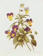 Pansies Drawings Framed Prints - Viola Tricolour  Framed Print by Pierre Joseph Redoute