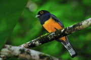 Tony Photos - Violaceous Trogon by Tony Beck