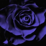 Blue Flowers Posters - Violet Blue Rose I Poster by Artecco Fine Art Photography - Photograph by Nadja Drieling