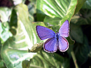 Serene Framed Prints - Violet butterfly Framed Print by Sumit Mehndiratta