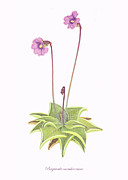 Insect Drawings Prints - Violet Butterwort Print by Scott Bennett